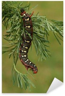 Naklejka Caterpillar Wilczomlecz Hawk-ćma (Hyles euphorbiae) w przyrodzie