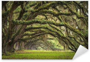 Naklejka Dęby aleja charleston sc plantacji drzew lasu dębowego na żywo