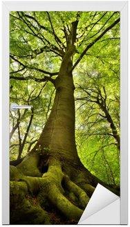 Naklejka na Drzwi Stare drzewo buk