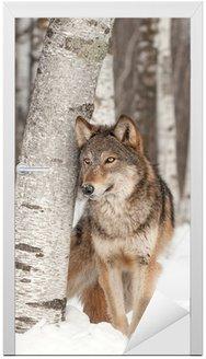 Szary Wilk (Canis lupus) stoi obok Birch Tree