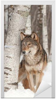 Naklejka na Drzwi Szary Wilk (Canis lupus) stoi obok Birch Tree