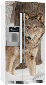 Naklejka na Lodówkę Wilk (Canis lupus) Peers okolicy Birch Tree