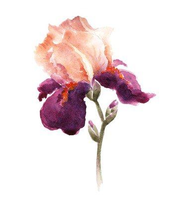 Naklejka na Ścianę Burgundia Akwarele tęczówki kwiat