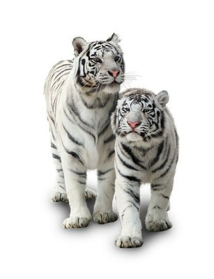 Naklejka na Ścianę Dwa białe tygrysy