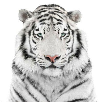 Naklejka na Ścianę Odizolowanych biały tygrys