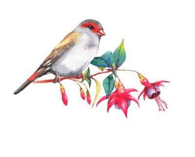 Naklejka na Ścianę Ręcznie rysowane Akwarele ilustracji z czerwonym czole zięba na gałęzi kwiaty fuksja. Dziki Kolorowy rysunek ptaka. Natura odizolowane ilustracji