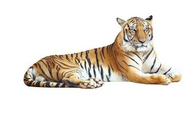 Naklejka na Ścianę Tygrys patrząc aparat z wycinek ścieżki na białym tle