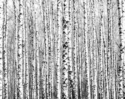 Naklejka na Ścianę Wiosenne pnie brzozy czerni i bieli