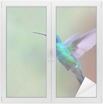 Naklejka na Szybę i Okno Zielona Violetear koliber w locie w Kostaryce