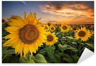 Naklejka Piękny zachód słońca nad polem słonecznika