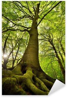 Naklejka Stare drzewo buk