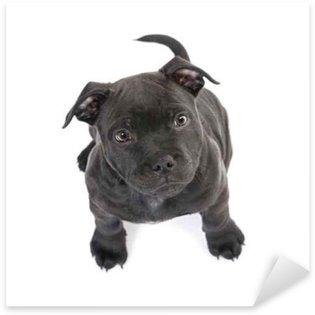 Naklejka Szczeniak Staffordshire Bull Terrier (2 miesiące)