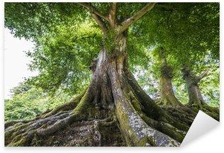 Naklejka Wielkie stare drzewo