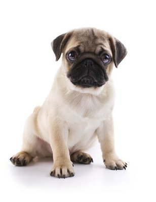 Nálepka na Stěny Pug Puppy