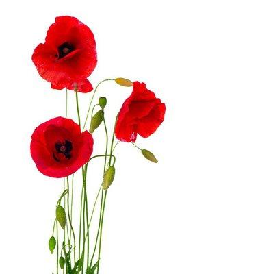 Nálepka na Stěny Red Poppy květ izolovaných na bílém pozadí