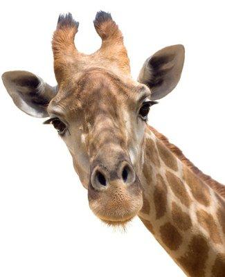 Nálepka na Stěny Žirafa closeup