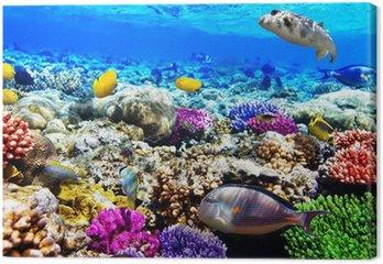 Obraz na Plátně Coral a ryby v Rudém moři. Egypt, Afrika.