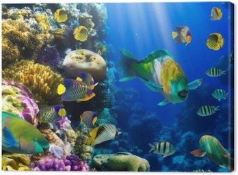 Obraz na Plátně Coral kolonie a korálové ryby