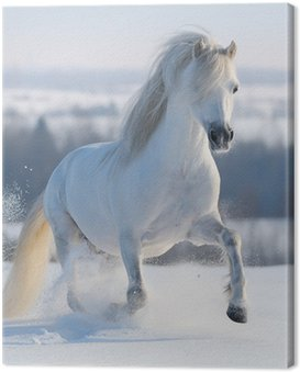 Obraz na Plátně Cval bílý kůň