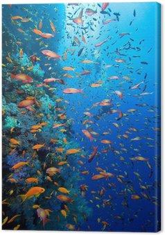 Obraz na Plátně Foto korálové kolonie a potápěče