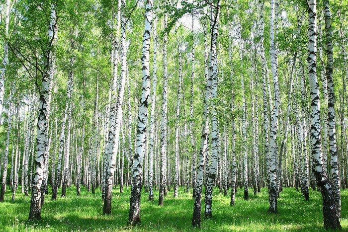 Obraz na Plátně Jarní bříza les - Témata