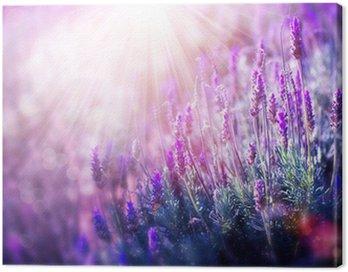Obraz na Plátně Lavender květiny pole. Pěstování a kvetoucí levandule