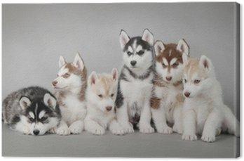 Obraz na Plátně Sibiřský husky psa štěně