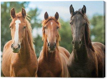 Obraz na Plátně Skupina tří mladých koní na pastvě