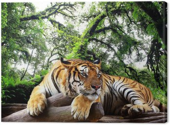 Obraz na Plátně Tiger hledá něco na skále v tropických stálezelených lesů