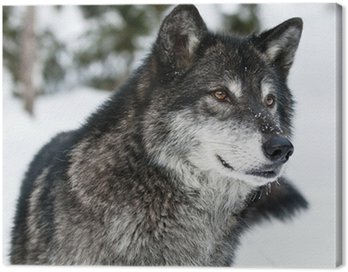 Obraz na Plátně Vlk