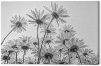 Obraz na Plátně Zblízka bílých květů sedmikrásky