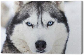 Obraz na Plátně Zblízka na modrých očích husky