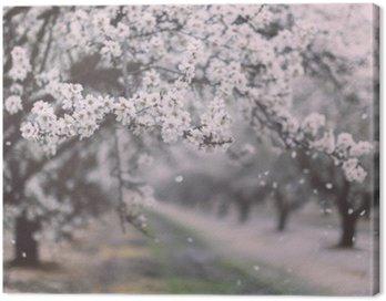 Almond sad kwitnący