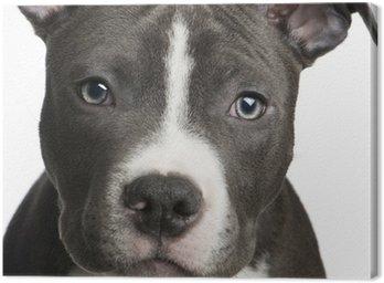 Obraz na Płótnie American Staffordshire terrier puppy (3 miesiące)