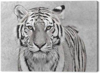 Obraz na Płótnie Amur Tiger (Panthera tigris altaica)