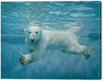 Basen Thalarctos Maritimus (Ursus maritimus) - Niedźwiedź polarny