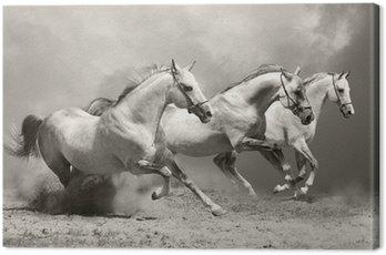 Białe konie w kurzu