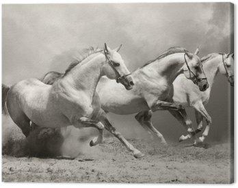 Obraz na Płótnie Białe konie w kurzu