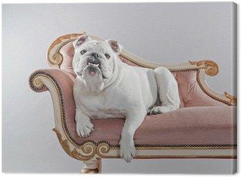 Obraz na Płótnie Biały buldog angielski, leżąc na kanapie archiwalne. studio strzał na
