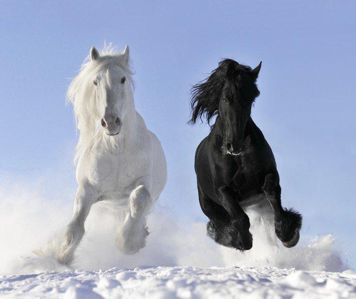 Obraz na Płótnie Biały i czarny koń - Tematy