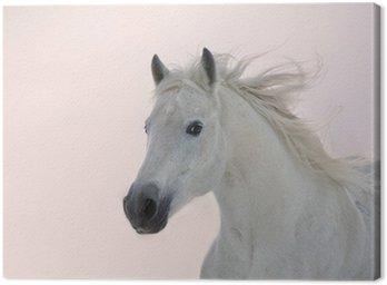 Obraz na Płótnie Biały koń arabski działa na tle zachodu słońca