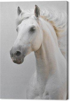 Obraz na Płótnie Biały ogier koń samodzielnie na szarym tle