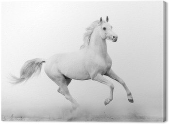 Obraz na Płótnie Biały ogier