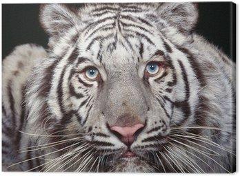 Obraz na Płótnie Biały tygrys