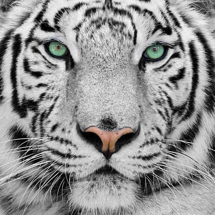 Obraz na Płótnie Biały tygrys -