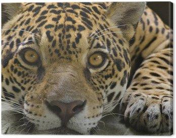 Big cat jaguar, patrząc na kamery