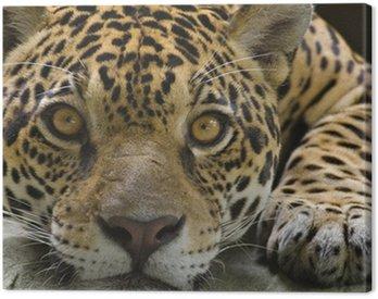 Obraz na Płótnie Big cat jaguar, patrząc na kamery