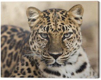 Obraz na Płótnie Bliska portret kontakt wzrokowy Amur leopard podejmowania