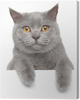 Obraz na Płótnie Brytyjskie szary kot na białym sztandarem