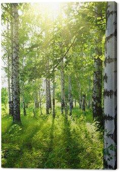 Brzozowe lasy z letniego słońca